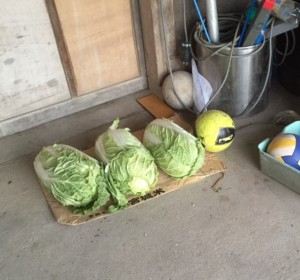 遺品整理のご依頼者様より、白菜のお土産を